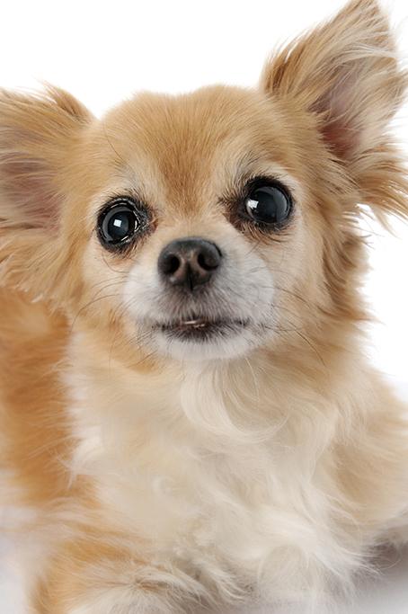 chiwawa, dog, cute, fluffy, pet, studio, photographer, Adelaide, Australia, photography, white background